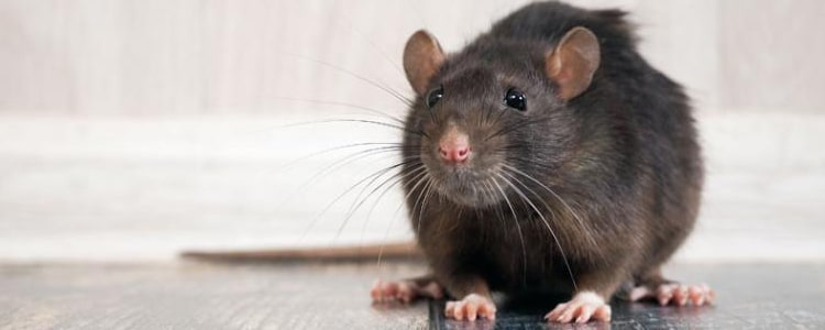 Rodent Control Newstead